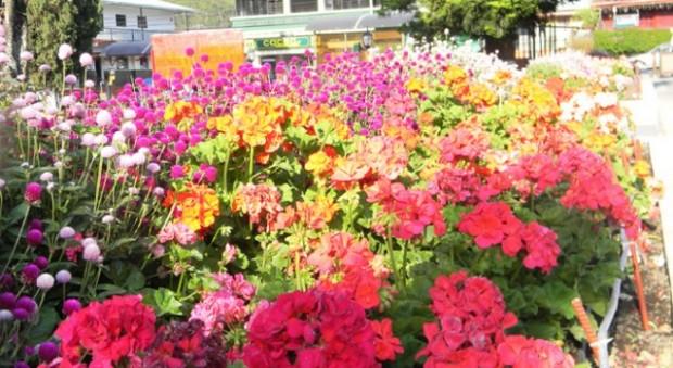 Boquete Panama flowers