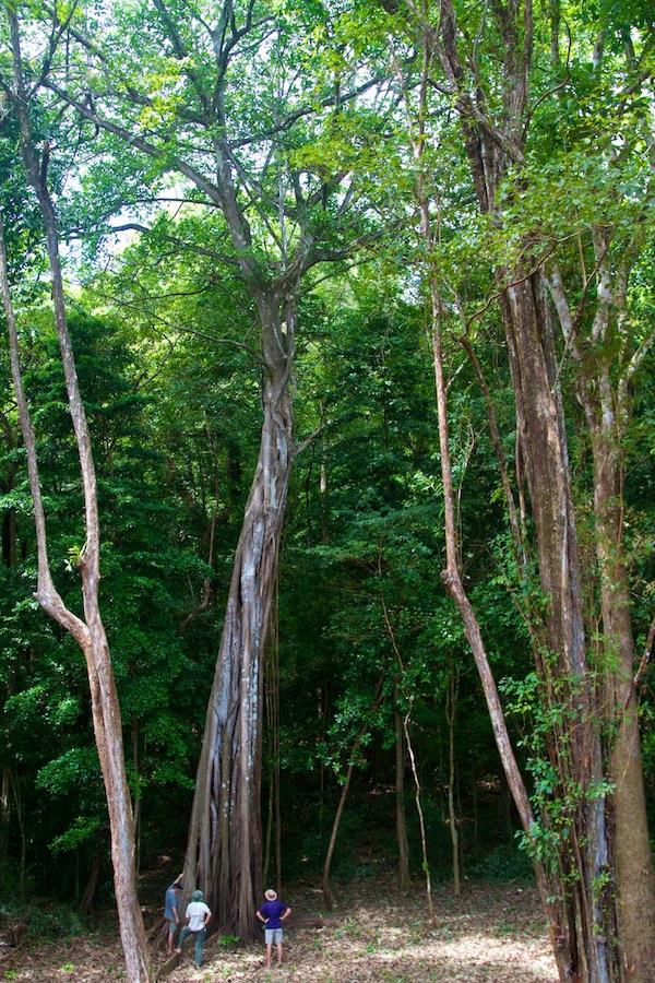 Huge Rainforest on Boca Chica Island